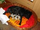 1 Stunde nach der Geburt Hundemama Inca mit 4 gesunden Rüden